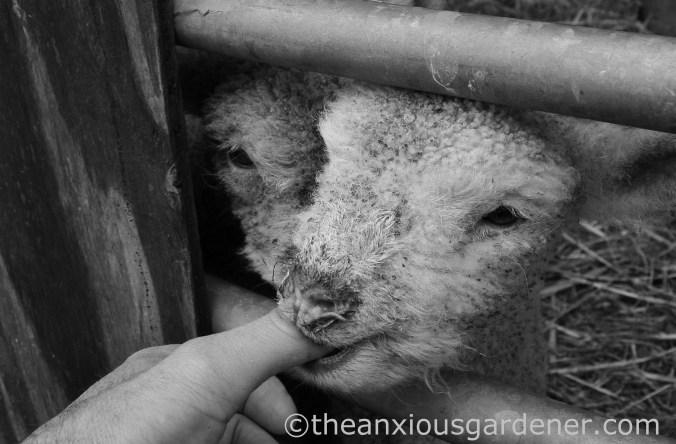 New Born Lambs (5)