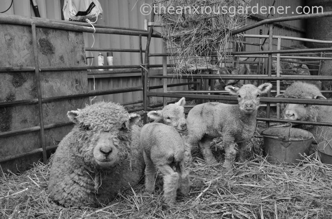 New Born Lambs (6)