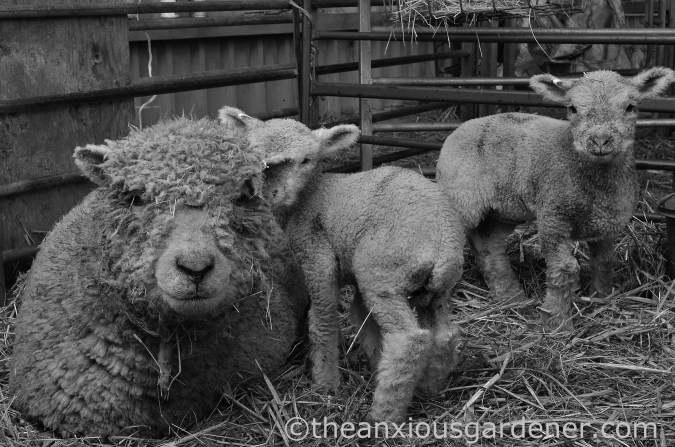 New Born Lambs (7)