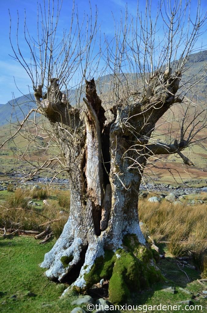 Pollarded ash tree