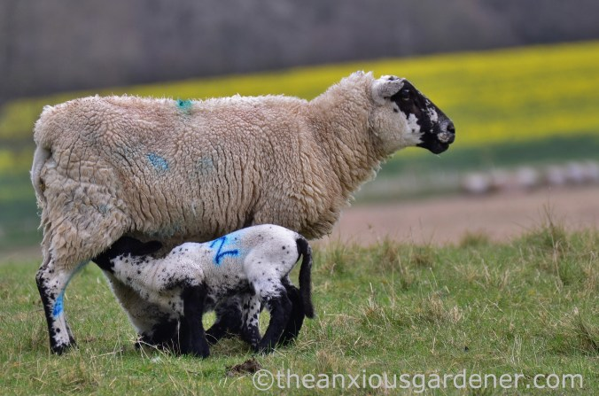 Ewe and lamb, South Downs Way