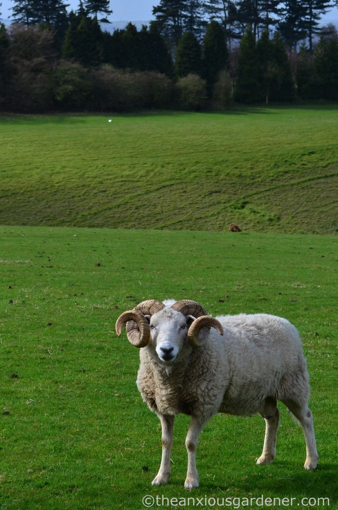 Ram, South Downs Way