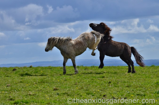 South Downs Ponies (2)