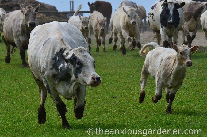 Cows out to pasture (10)