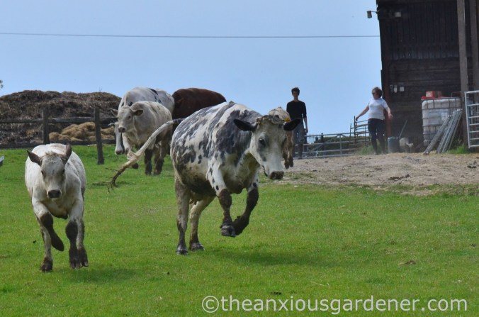 Cows out to pasture (11)
