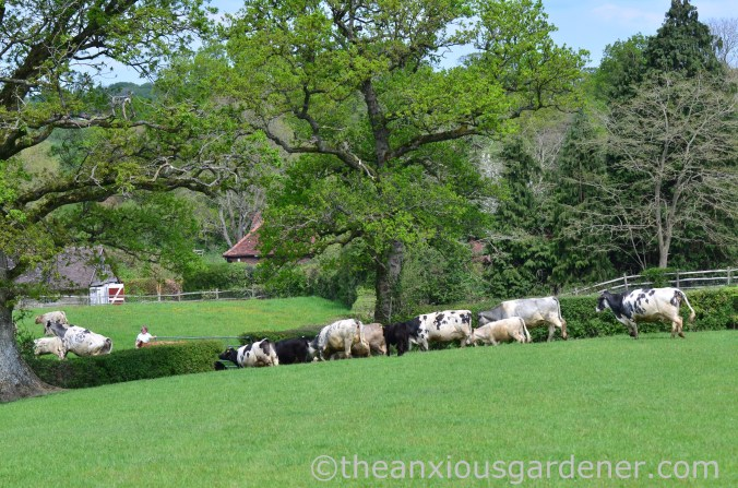 Cows out to pasture (18)