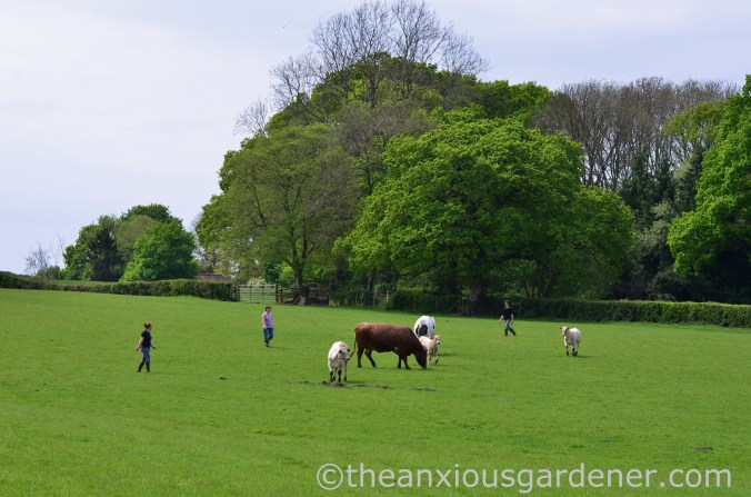 Cows out to pasture (19)