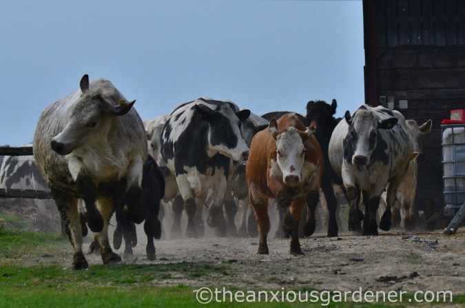Cows out to pasture (2)