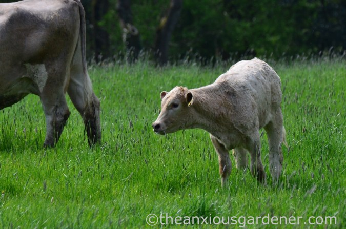 Cows out to pasture (20)