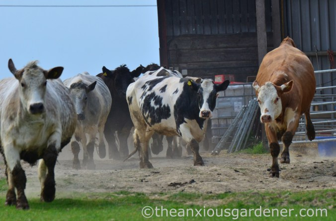 Cows out to pasture (3)