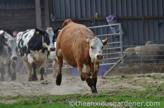 Cows out to pasture (4)