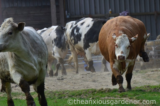 Cows out to pasture (5)