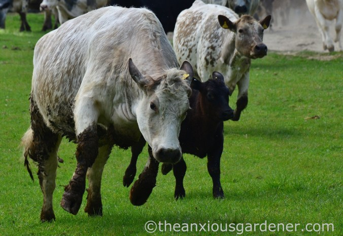 Cows out to pasture (7)