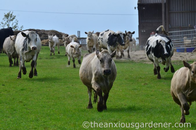 Cows out to pasture (9)