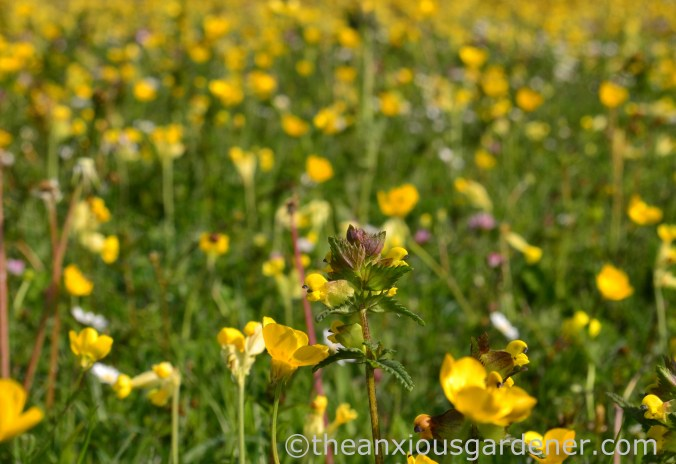 Flower Meadow South Downs (4)