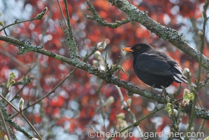 Male blackbird 2