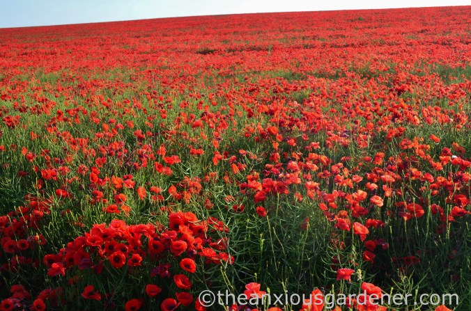 Poppies South Downs