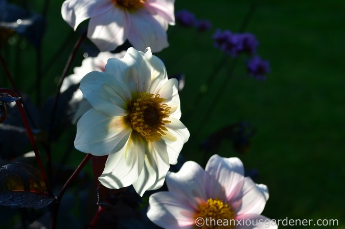 dahlia-twynings-after-eight