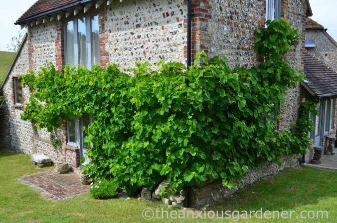 Grape vine (2)
