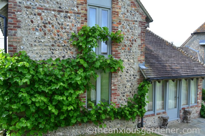 Grape vine (3)