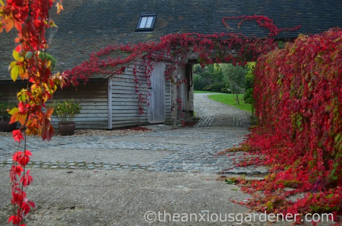 Virginia Creeper (1)