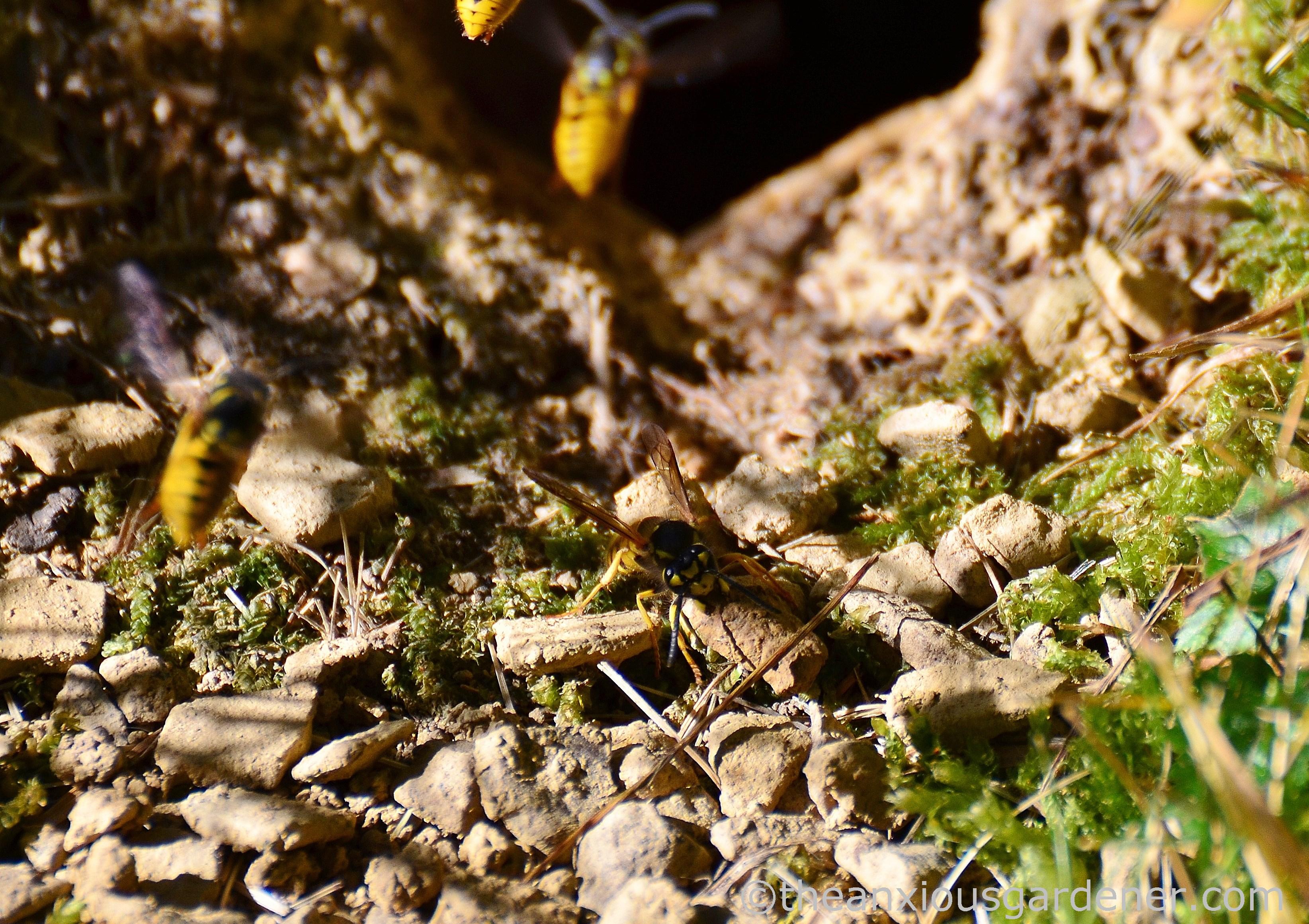 wasp nest in ground - HD3288×2323