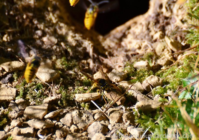 wasp-nest-4