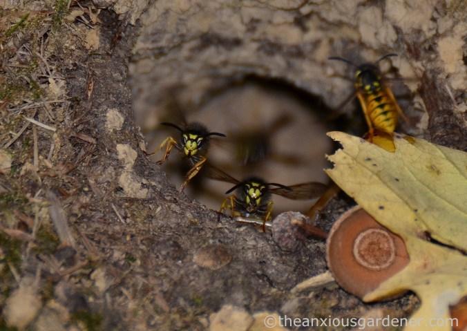 wasp-nest-5