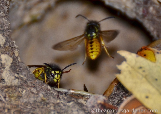 wasp-nest-8