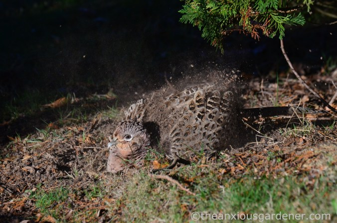 hen-pheasant-dust-bath-3