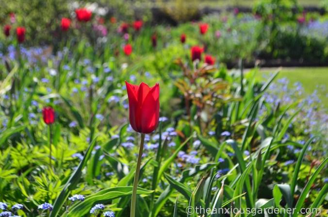 gravetye-manor-tulips-2