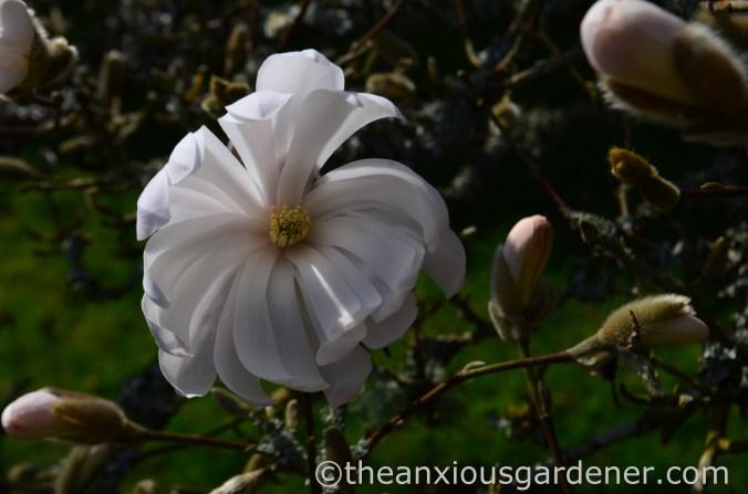 Magnolia stellata (1)