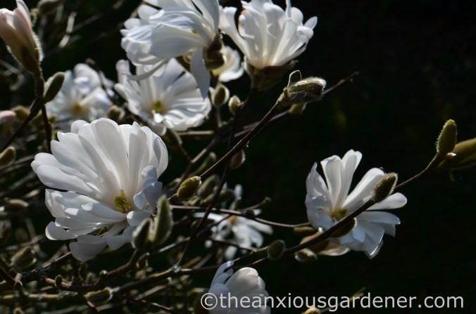 Magnolia stellata (2)