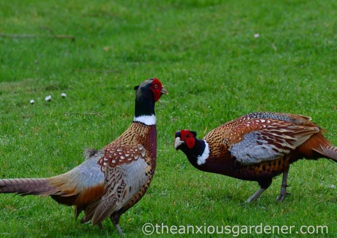 Male pheasant fighting (1)