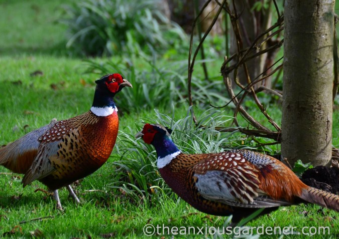 Male pheasant fighting (2)