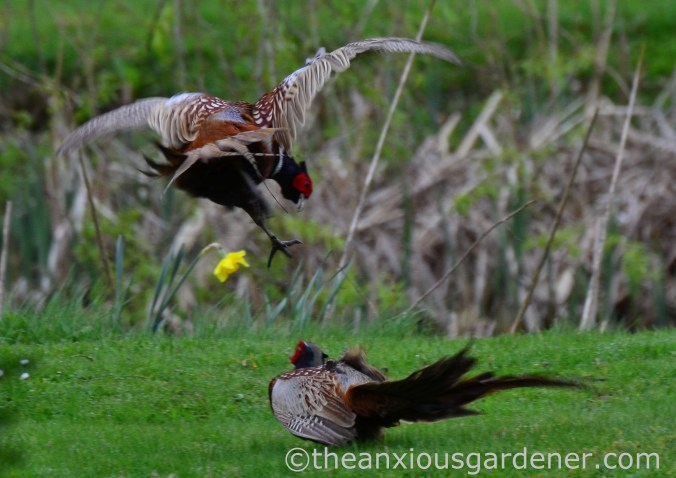 Male pheasant fighting (3)