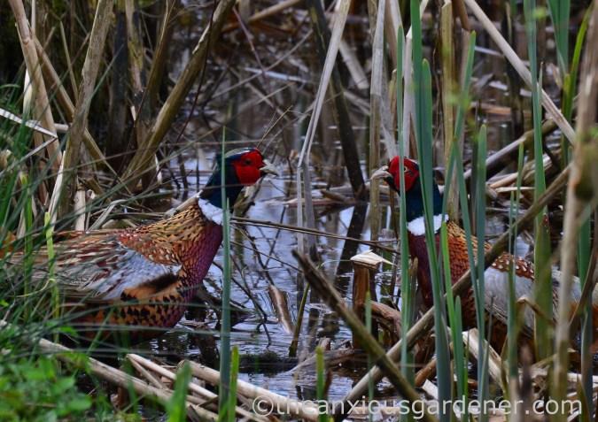 Male pheasant fighting (4)