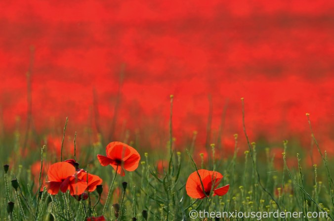 poppies-on-the-downs-2
