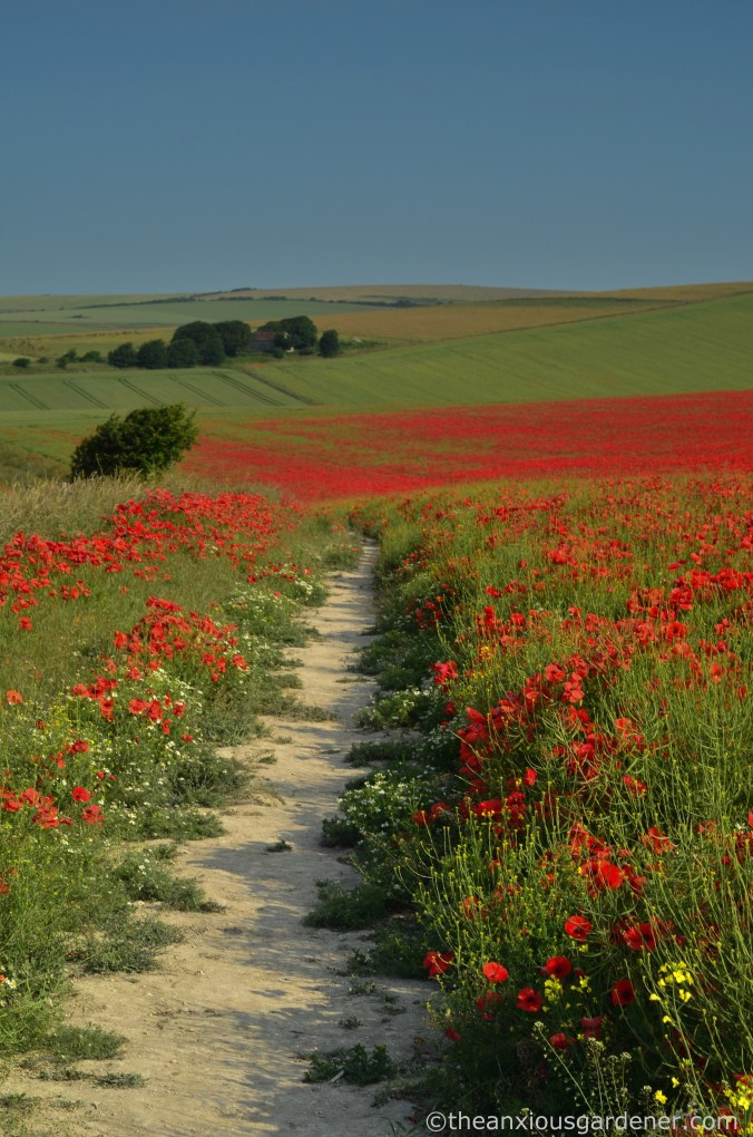 poppies-on-the-downs