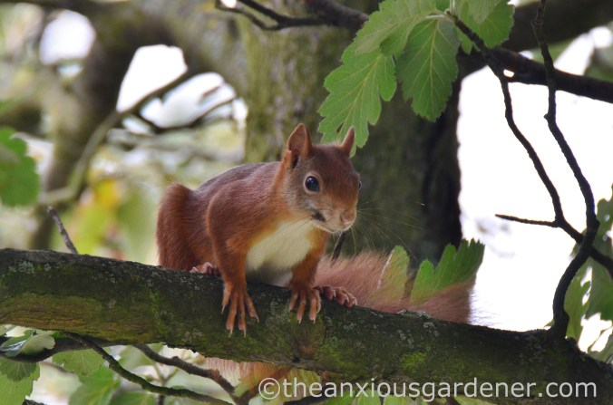 Red grey squirrel (1)