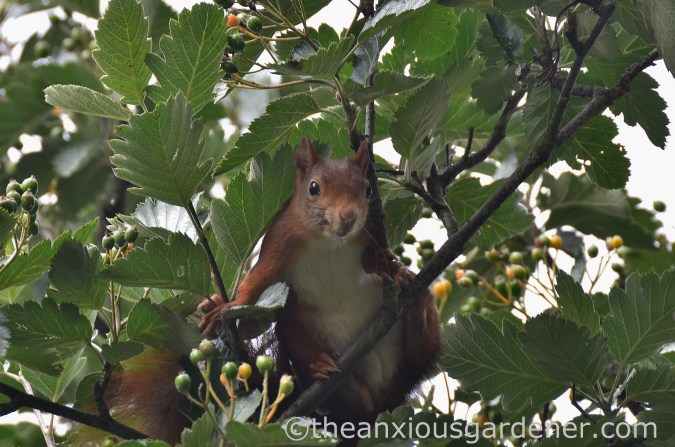 Red grey squirrel (2)