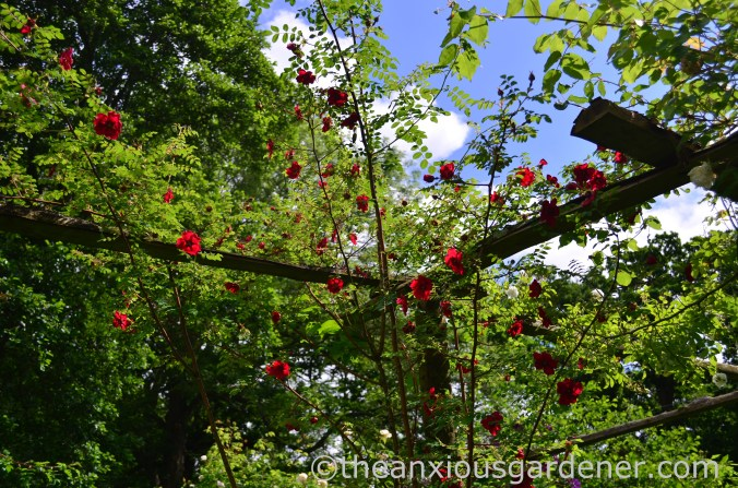 rosa-moyesii-geranium