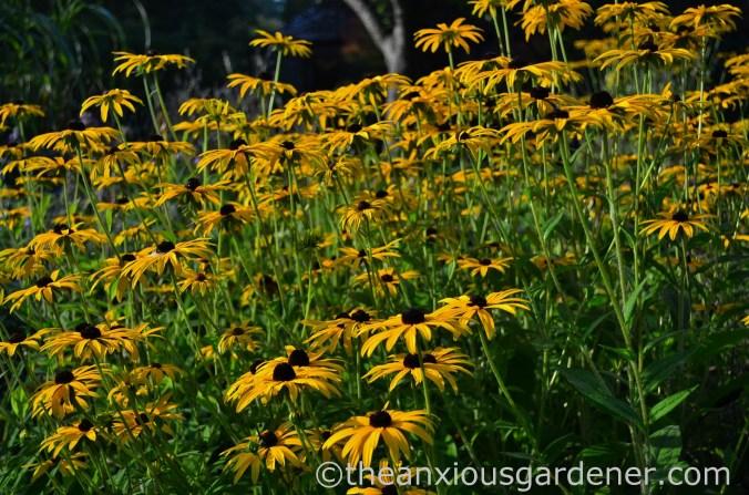 rudbeckia-goldsturm