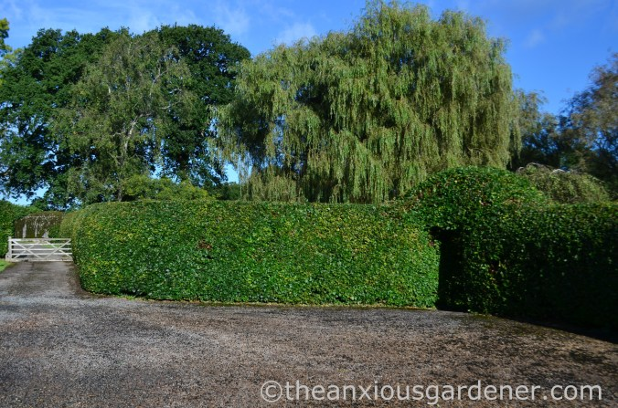 Clipped Beech Hedge