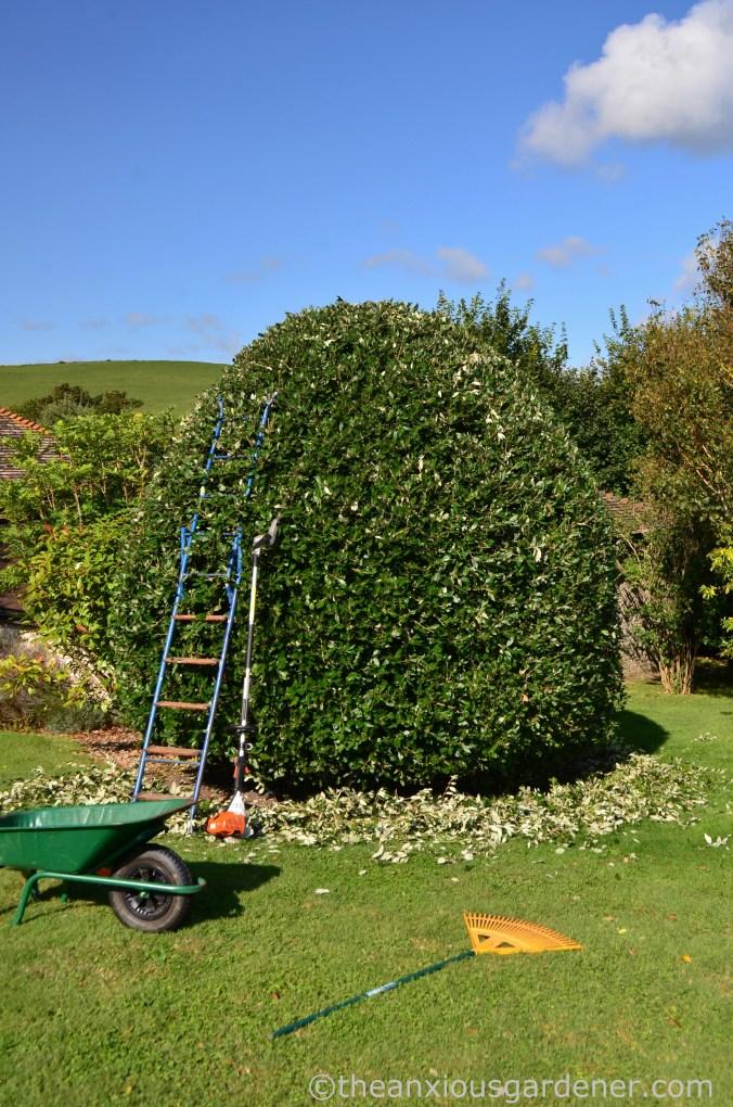 Cutting Holm Oak (1)