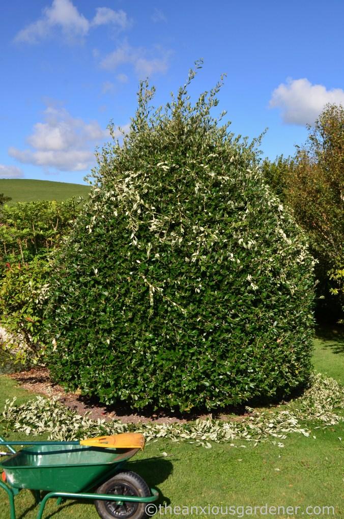 Cutting Holm Oak (3)