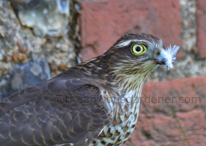 Sparrowhawk (11)