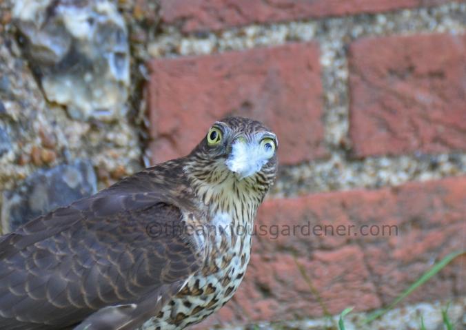 Sparrowhawk (12)