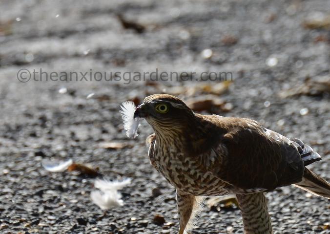 Sparrowhawk (5)