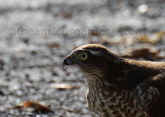 Sparrowhawk (7)
